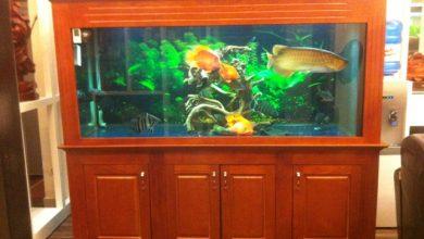 Photo of Bể cá rồng gỗ xoan – anh Long phố Vọng