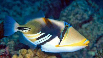 Photo of Cá Bò Picasso – Humu Picasso Triggerfish- Rhinecanthus aculeatus