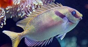 Hình ảnh cá cảnh biển Tu Hú Sọc