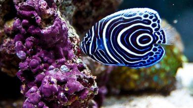 Photo of Cá chim xanh- Koran Angelfish- Pomacanthus semicirculatus