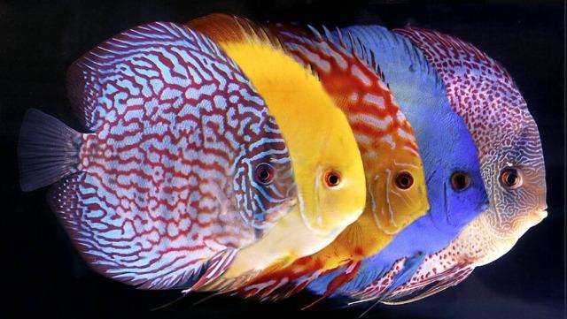 Hình ảnh cá đĩa đẹp