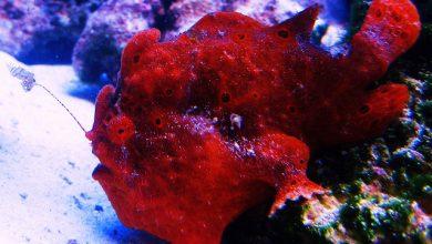 Photo of Cá Lã Vọng Đỏ – Red/ Orange Angler- Antennarius sp