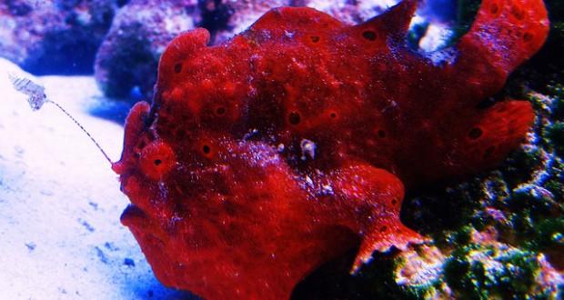Hình ảnh cá lã vọng đỏ
