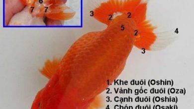Photo of Tiêu chuẩn lựa chọn cá vàng Ranchu