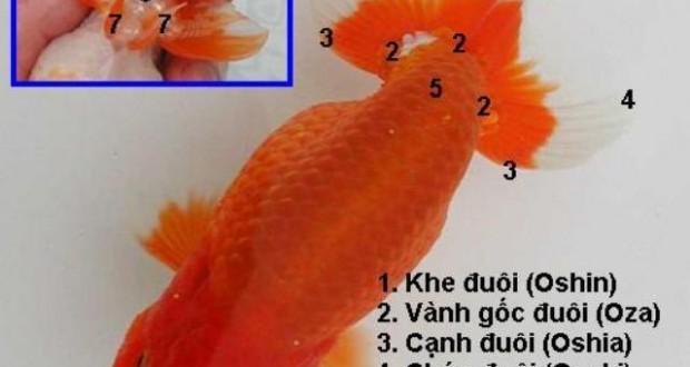 Hình ảnh cá vàng Ranchu