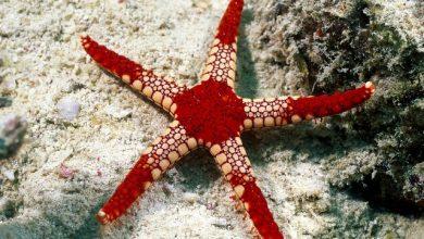 Photo of Sao Biển Đỏ- Red Sea Star- Fromia milleporella