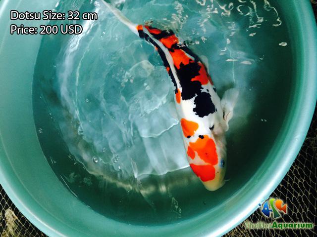 Hình ảnh cá koi Dotsu