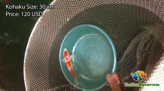 Hình ảnh cá koi Kohaku