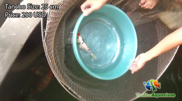 Hình ảnh cá koi Tancho Sanke