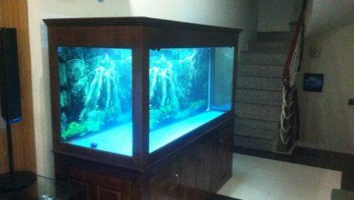 Photo of Bể cá rồng gỗ xoan đào – Anh Long Vietinbank