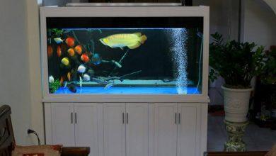 Photo of Bể cá rồng gỗ xoan đào sơn trắng