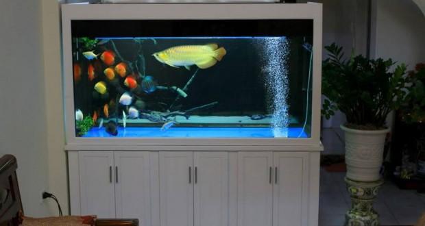 Hình ảnh bể cá rồng gỗ xoan đào sơn trắng