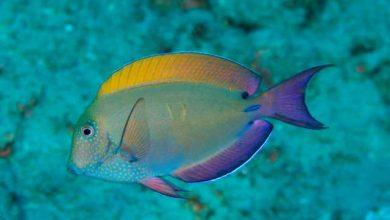 Photo of Cá Bắp Nẻ Xám- Lavender Tang- Spot Cheeked Surgeonfish- Acanthurus nigrofuscus