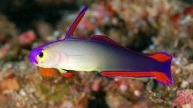 Photo of Cá Bống Cờ Lửa – Firefish – Nemateleotris Magnifica