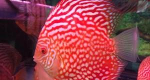 Hình ảnh cá đĩa Bồ Câu