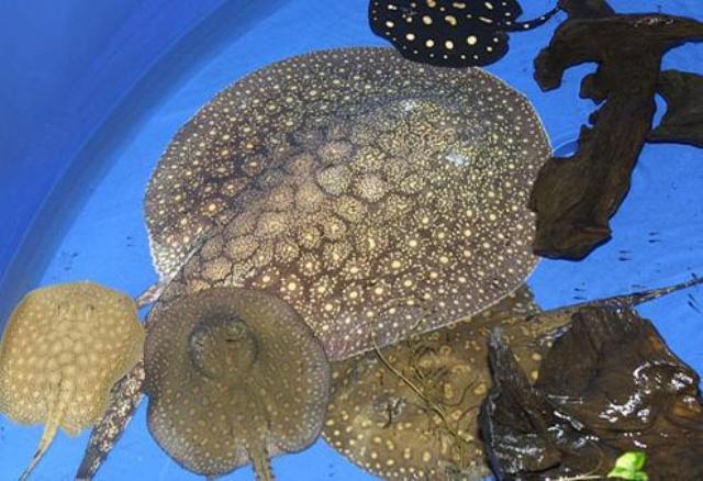 Hình ảnh cá đuối Estrella