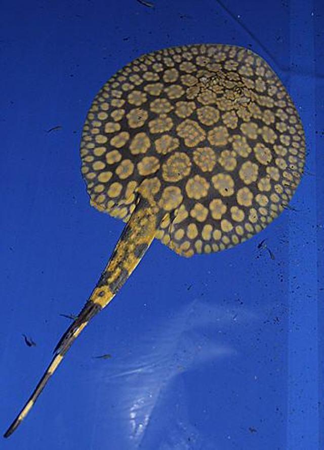 Hình ảnh cá đuối hoa