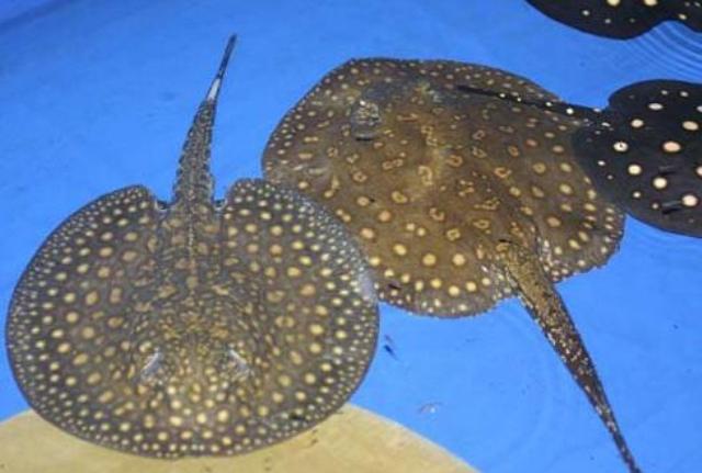 Hình ảnh cá đuối hoa và leopoldi