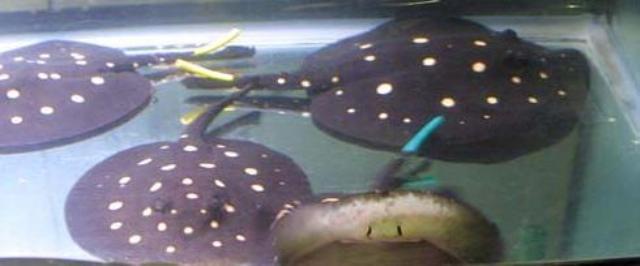 Hình ảnh cá đuối leopoldi