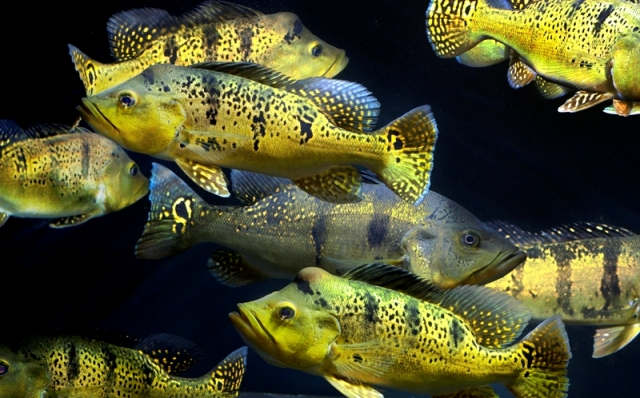 Hình ảnh cá Hoàng Bảo Yến
