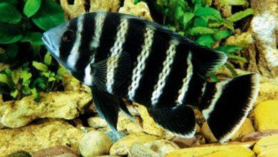Photo of Cá Hoàng Tử Châu Phi – Kỳ Lân- Buttikoferi Cichlid – Tilapia butterkofferi