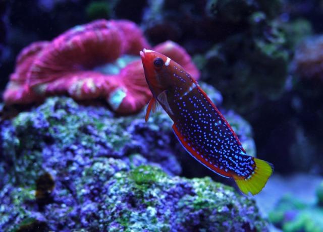 Hình ảnh cá Mó 7 màu