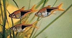 Hình ảnh Cá Tam Giác