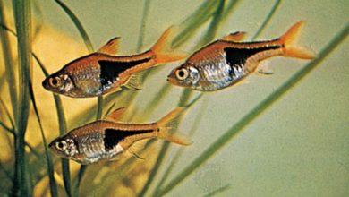 Photo of Cá Tam Giác – Harlequin Rasbora – Rasbora heteromorpha