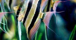 Hình ảnh cá Thần Tiên Ai Cập