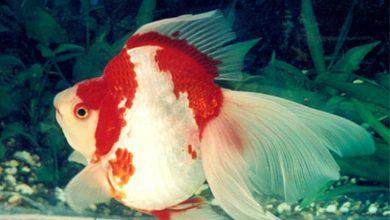 Photo of Cá Vàng Gù Ryukin – Ryukin Goldfish – Carassius auratus