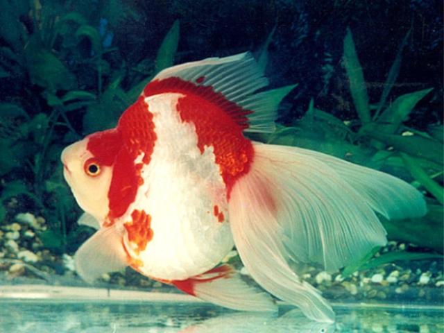 Hình ảnh cá vàng gù Ryukin