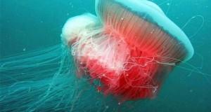 Hình ảnh sứa khổng lồ