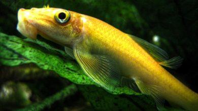 Hình ảnh cá Bống Mút Rong