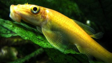 Photo of Cá Bống Mút Rong – Gold Algae Eater – Gyrinocheilos aymonieri