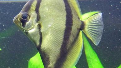 Photo of Cá Chim Đen – Mono Sebae – Monodactylus sebae