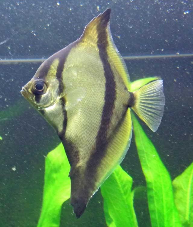 Hình ảnh cá Chim Đen