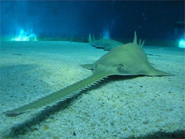 Hình ảnh của cá Dao