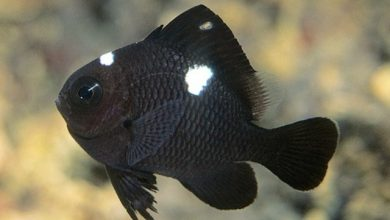 Photo of Cá Domino- Threespot Damselfish- Dascyllus Trimaculatus