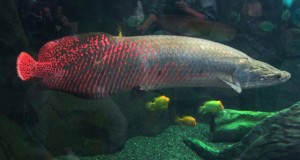 Hình ảnh cá Hải Tượng