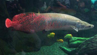 Photo of Cá Hải Tượng 35-40cm tại Cá cảnh Thái Hòa