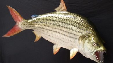 Photo of Cá Hổ châu Phi – African Tiger Fish – Hydrocynus vittatus