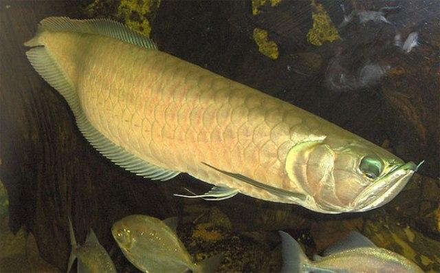 Hình ảnh cá rồng Ngân Long