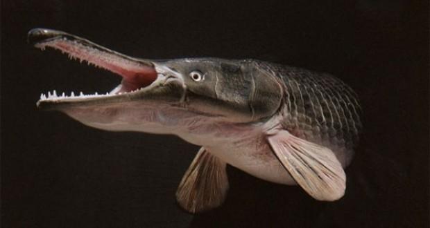 Hình ảnh cá Sấu Hỏa Tiễn