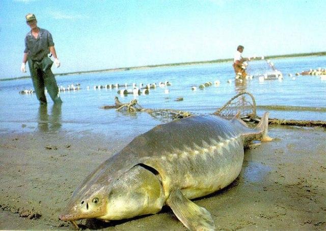 Hình ảnh cá Tầm