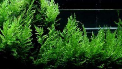 Photo of Cây Dương Xỉ châu Phi- African Water Fern- Bolbitis Heudelotii