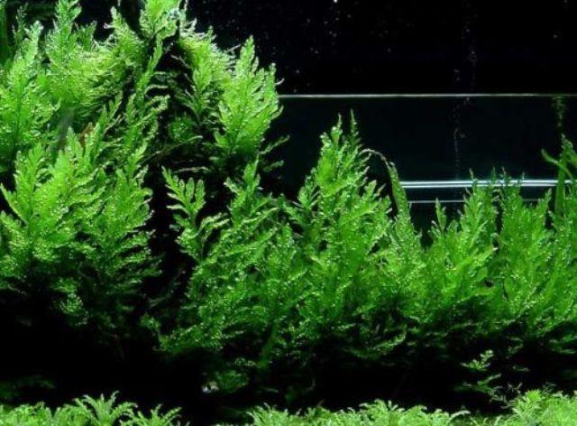 Hình ảnh cây Dương Xỉ châu Phi