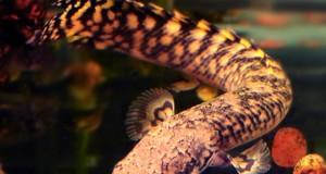 Hình ảnh cá Rồng Cửu Sừng Hoa