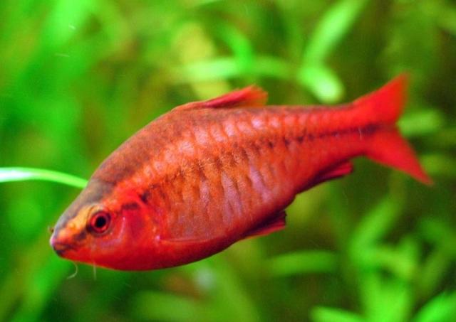Hình ảnh cá Anh Đào