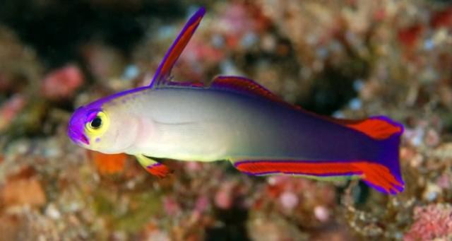 Hình ảnh cá Bống Cờ Lửa