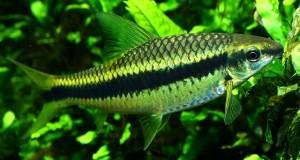 Hình ảnh cá Bút Chì